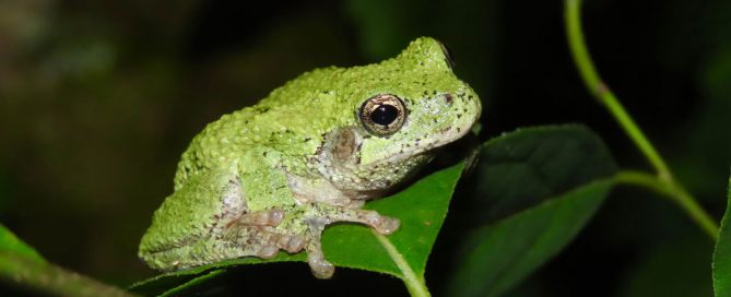 Gray Treefrog. Photo by Adam Bean.