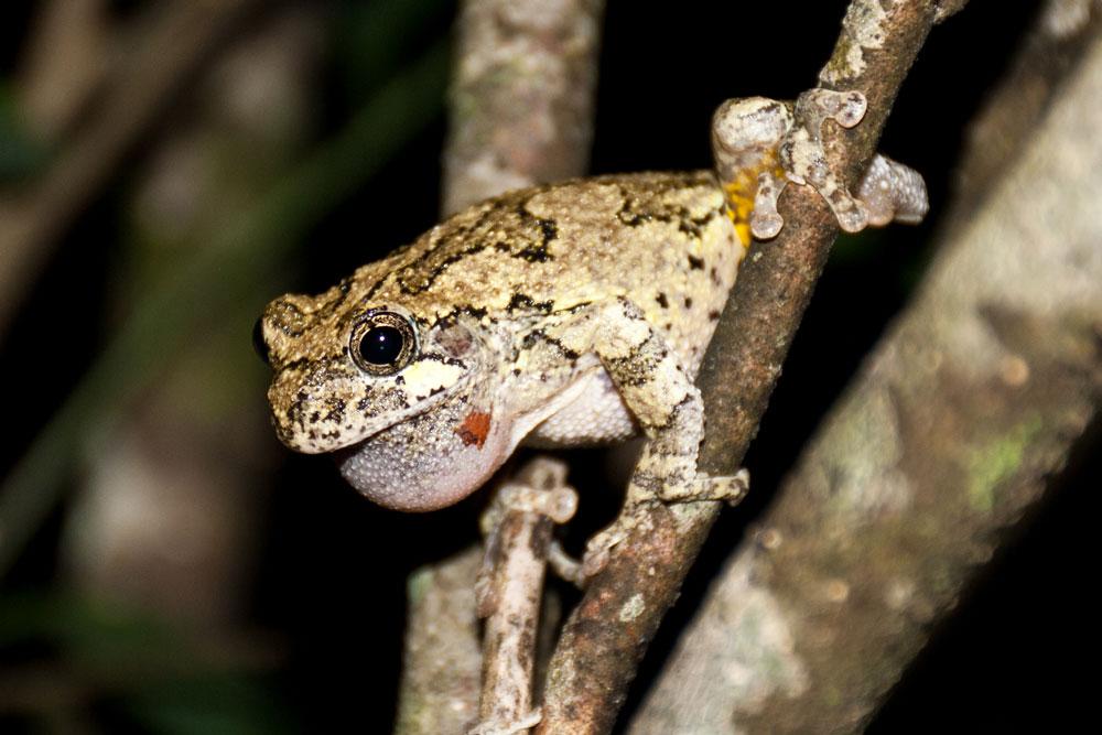 Gray Treefrog. Photo by Adam Bean.