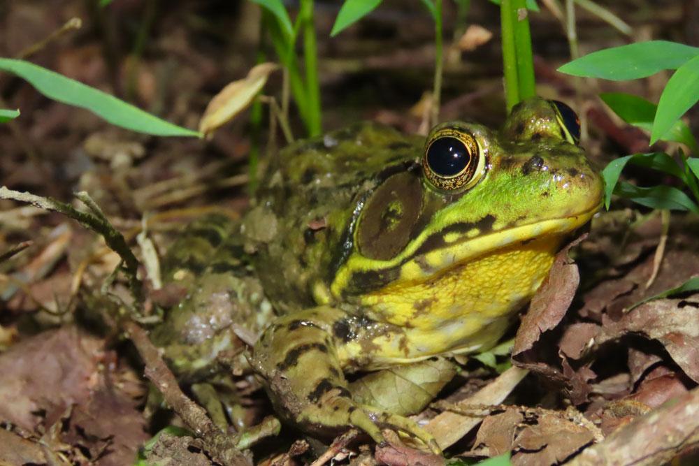 Green Frog. Photo by Adam Bean.