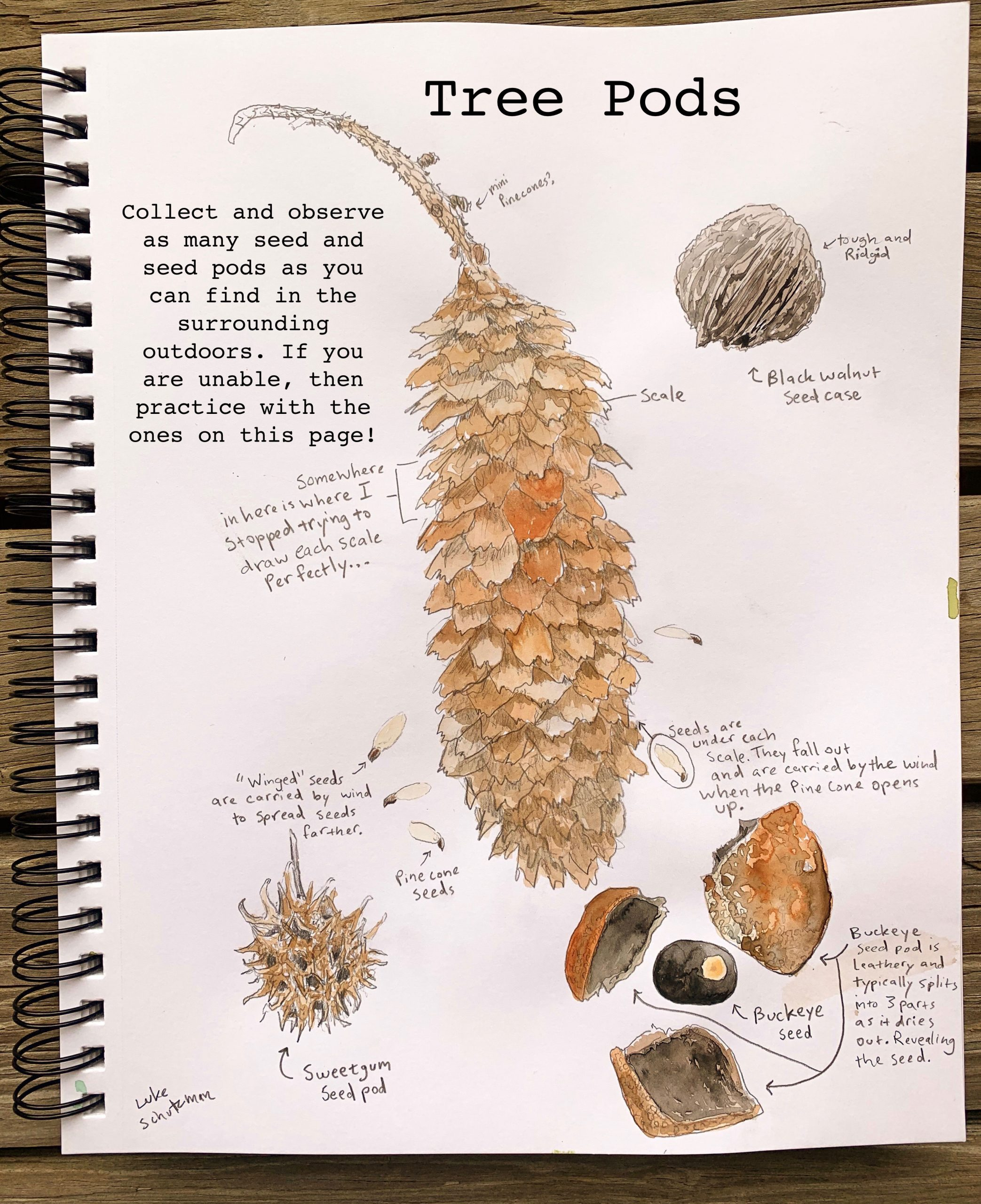 Nature journal page depicting tree pods