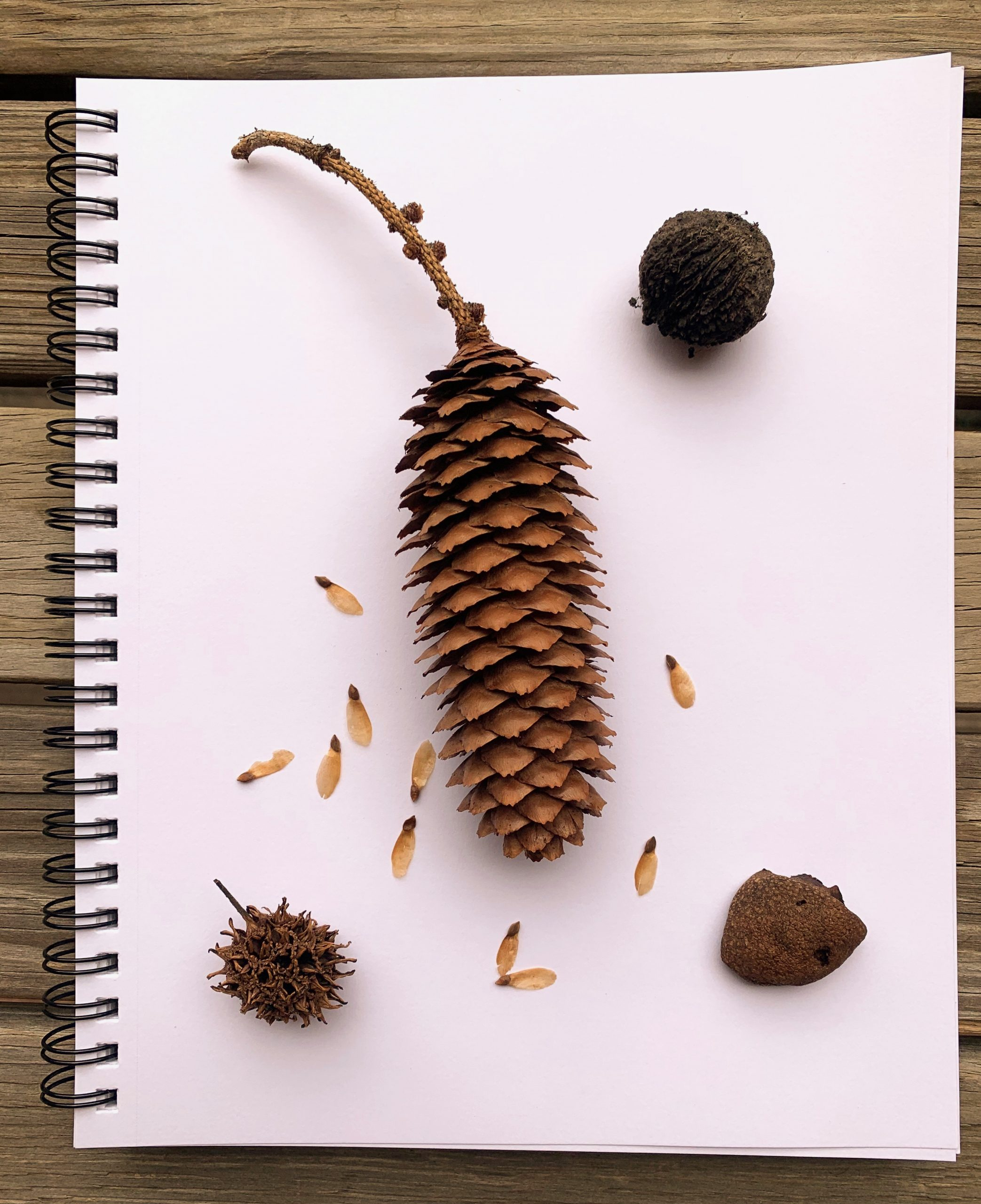 Tree pods lying on a blank notebook page