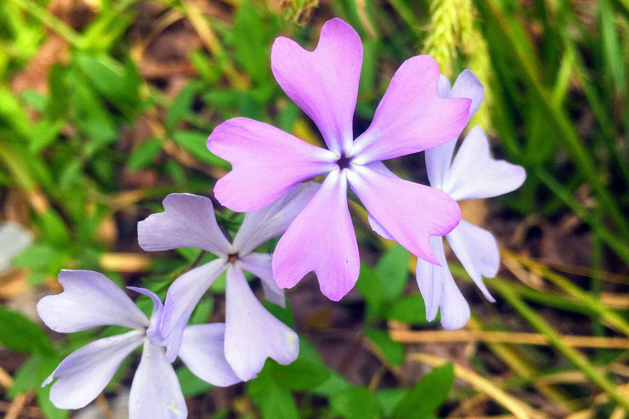 Wild Blue Phlox, photo by Lisa Wojciechowicz