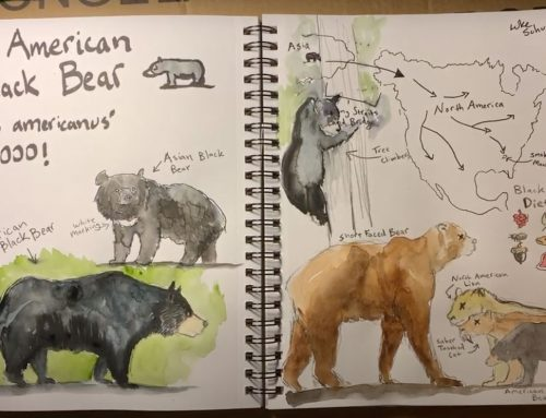 Nature Journaling: American Black Bear