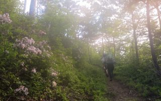 Mountain laurel blooms along a mountainside as backpackers hike uphill