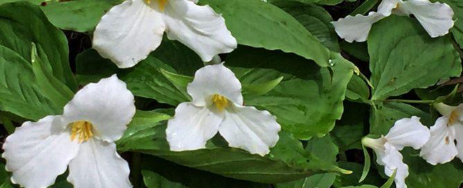 White trillium flowers