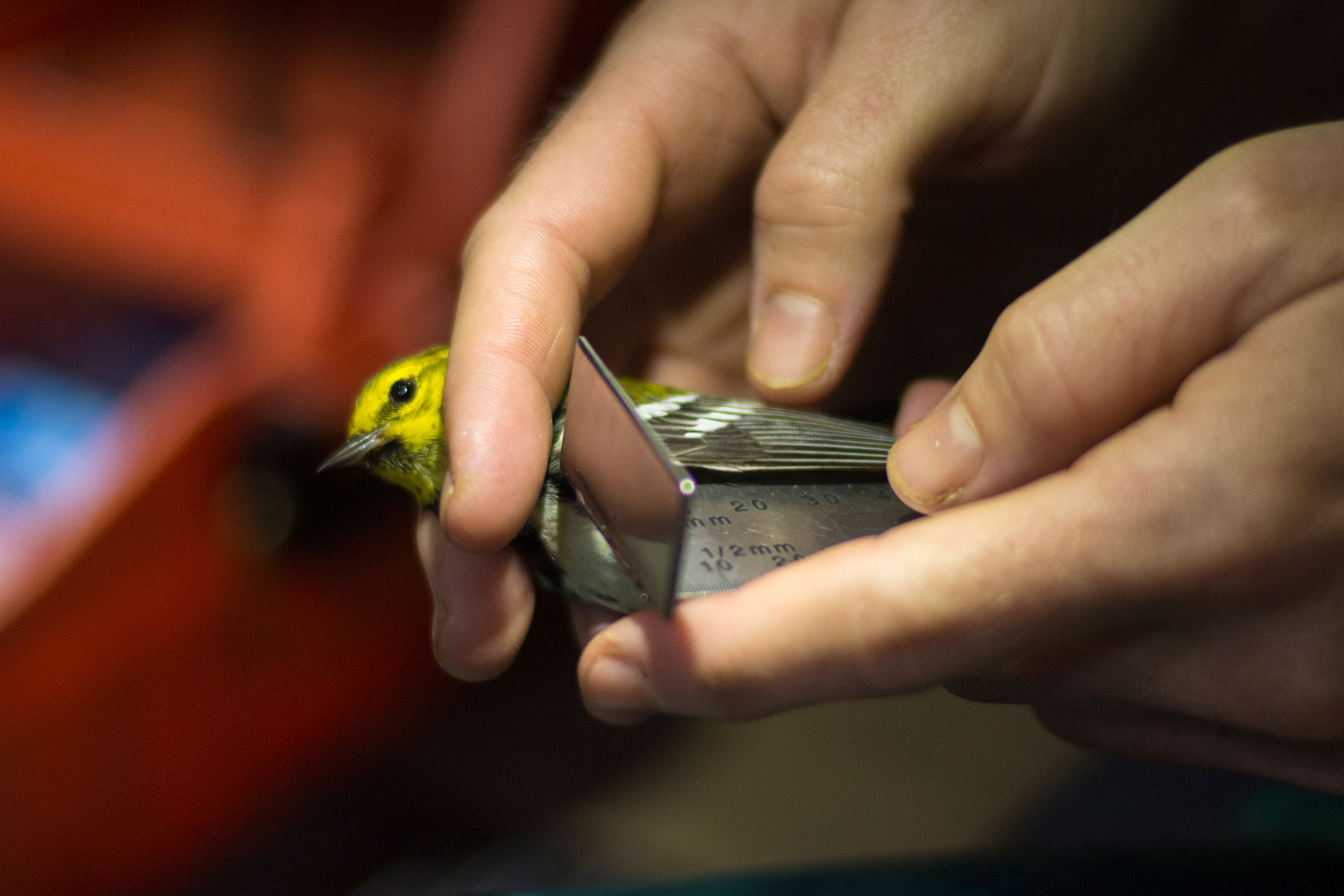 Wing length is measured on a Black-throated Green Warbler during Tremont's 2020 community science bird banding season