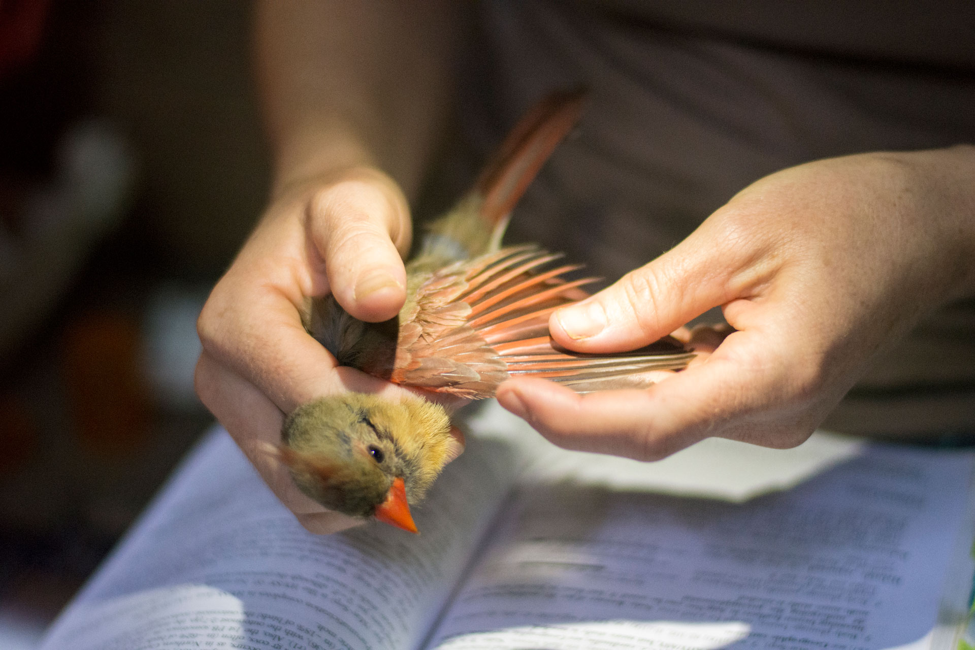 A female cardinal is examined during Tremont's 2020 community science bird banding season