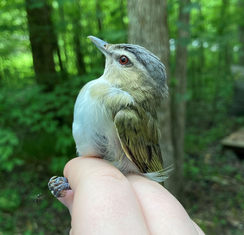 A female red-eyed vireo held in the photographer's grip