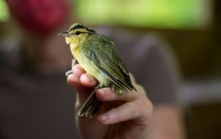 A Worm-eating Warbler in the photographer's grip during community science bird banding at Tremont Institute