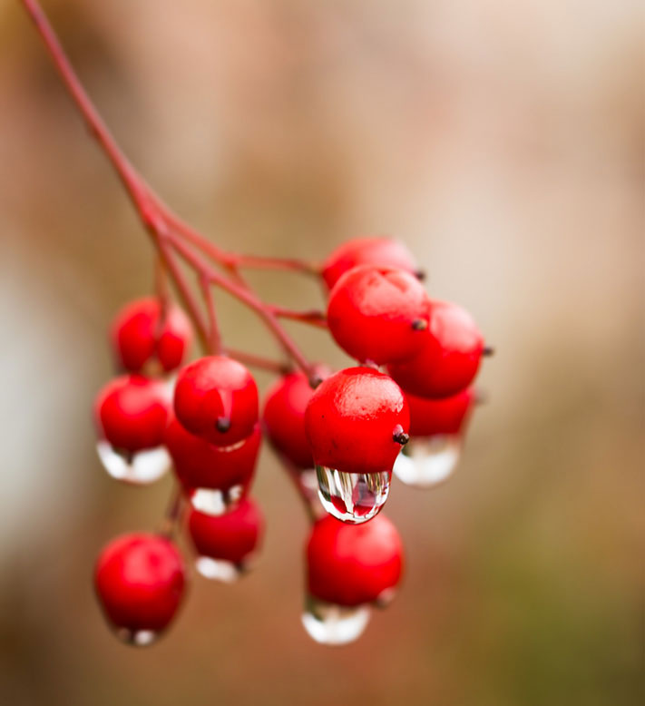 Water drips from berries by Ken Thompson
