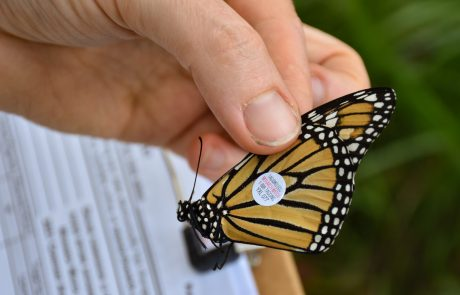 A human hand gently holds a monarch with a circular tag on its wing