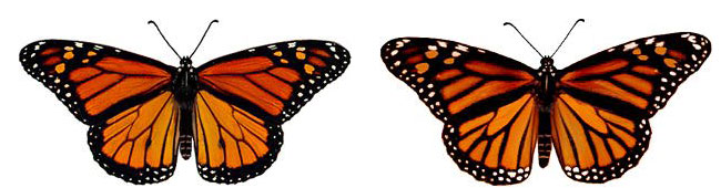 Male monarch butterfly on the left and female monarch butterfly on the right