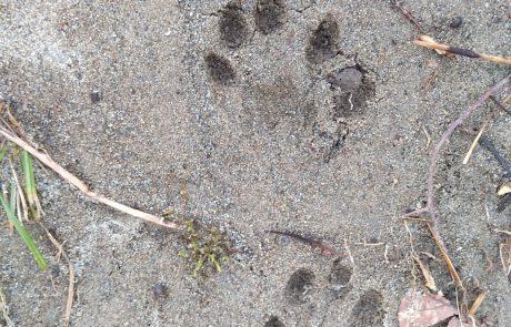 Otter tracks in the Smokies