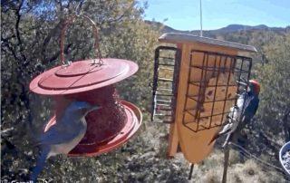 Scrub Jay and Acorn Woodpecker seen via livestream from North Texas