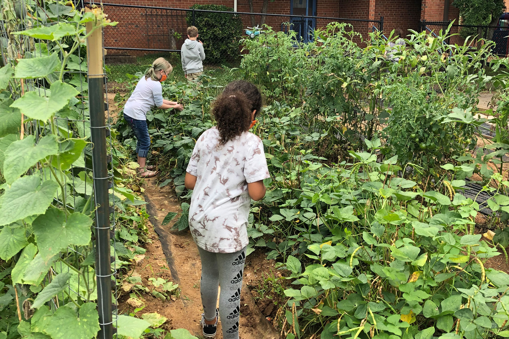 3 students picking beans in their schoolyard