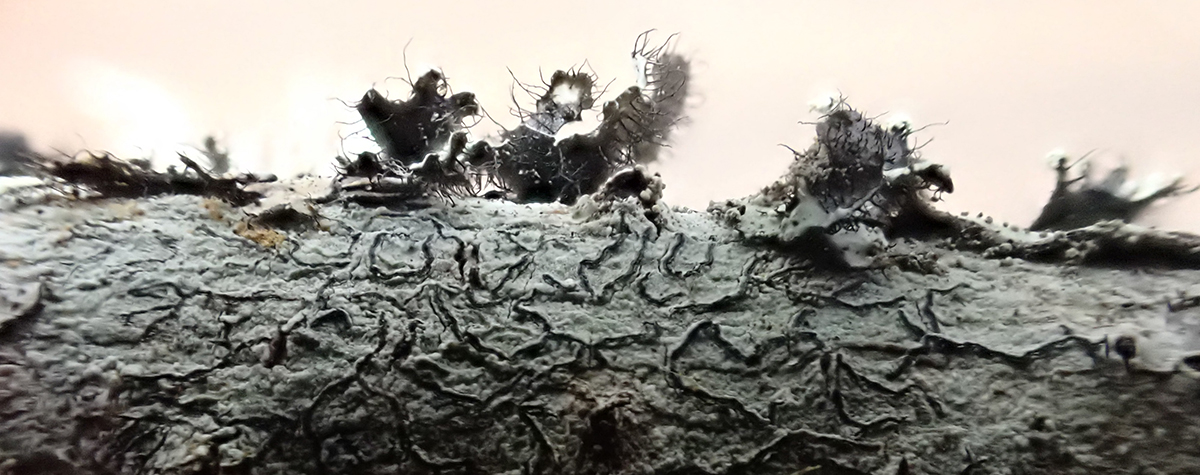 Close up photo of lichens found in Great Smoky Mountains National Park during Tremont's lichen workshop.